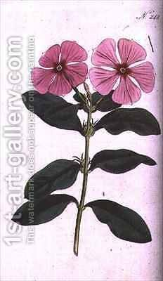 Periwinkle Vinca rosea madagascar by (after) Edwards, Sydenham Teast - Reproduction Oil Painting