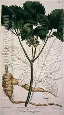 Panax quinquefolium Ginseng by (after) Edwards, Sydenham Teast - Reproduction Oil Painting