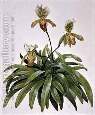 PD 412 1973 Lady Slipper Orchid from Nepal Paphiopedilum insigne by Cornelius B. Durham - Reproduction Oil Painting