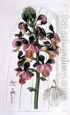 Orchis Lissochilus Roseus by Miss Drake - Reproduction Oil Painting