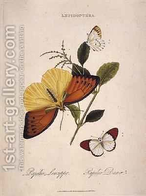 Butterflies Papilio Leucippe Papilio Danae by Edward Donovan - Reproduction Oil Painting
