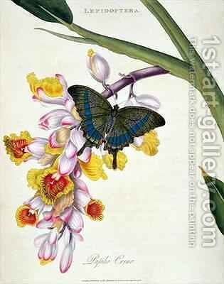 Butterfly Papilo Crino by Edward Donovan - Reproduction Oil Painting
