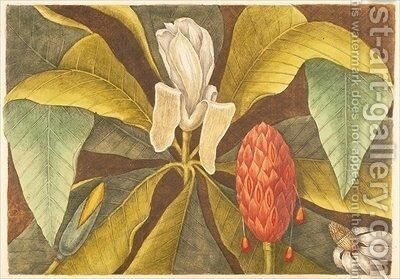 The Magnolia by Mark Catesby - Reproduction Oil Painting