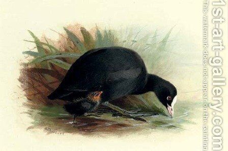 Coot, Fulica Atra by Archibald Thorburn - Reproduction Oil Painting