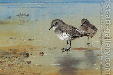 Grey plover at the water's edge by Archibald Thorburn - Reproduction Oil Painting