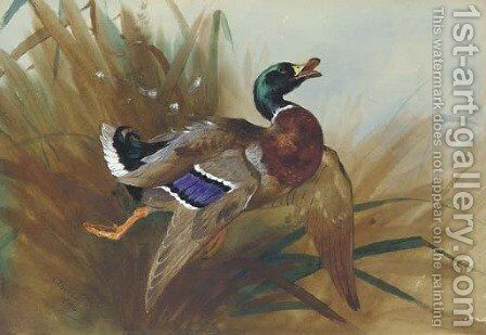 Mallard Duck by Archibald Thorburn - Reproduction Oil Painting