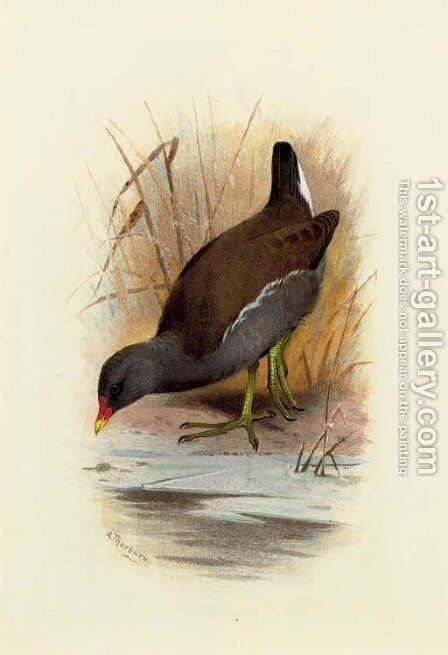 Water Hen or Moorhen, Gallinula Chloropus by Archibald Thorburn - Reproduction Oil Painting
