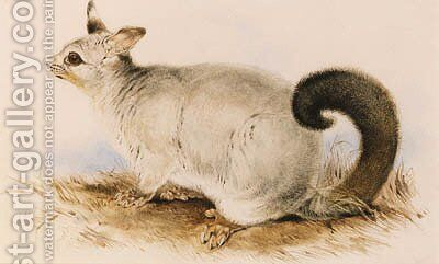 Trichosurus vulpecula (Common Brushtail Possum) by Edward Lear - Reproduction Oil Painting