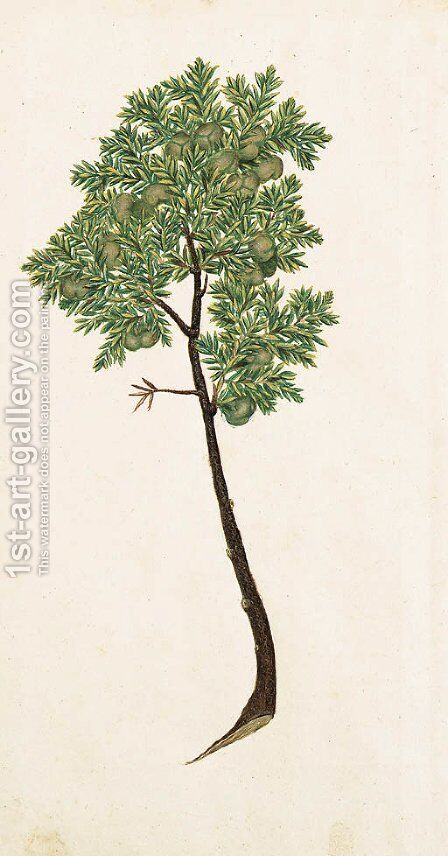 Pinus by Italian School - Reproduction Oil Painting