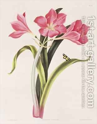 Amaryllis purpurea by (after) Bury, Mrs Edward - Reproduction Oil Painting