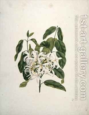 Taberne Montana (Leaves and Flowers) by James (Abyssinian Bruce) Bruce - Reproduction Oil Painting