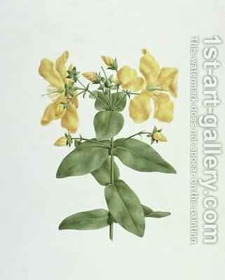 Feel-Fetch (Hypericum quartinianum) by James (Abyssinian Bruce) Bruce - Reproduction Oil Painting