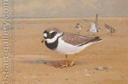 Ring Plover by Archibald Thorburn - Reproduction Oil Painting
