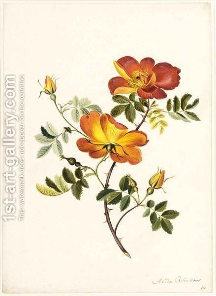 A Wild Rose by Alida Withoos - Reproduction Oil Painting