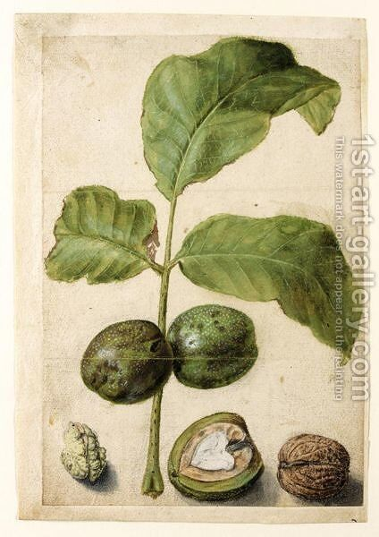 Various Studies Of Walnuts A Spray Of Leaves With Nuts Attached, A Cross-Section Of The Nut In Its Pithy Casing, The Outside Of The Shell, And The Kernel by (after) Le Moyne, Jacques (de Morgues) - Reproduction Oil Painting