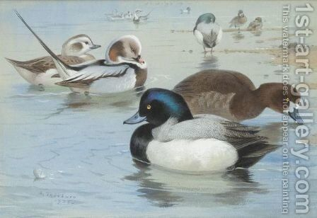 A Pair Of Long-Tailed Ducks And A Pair Of Scaup by Archibald Thorburn - Reproduction Oil Painting