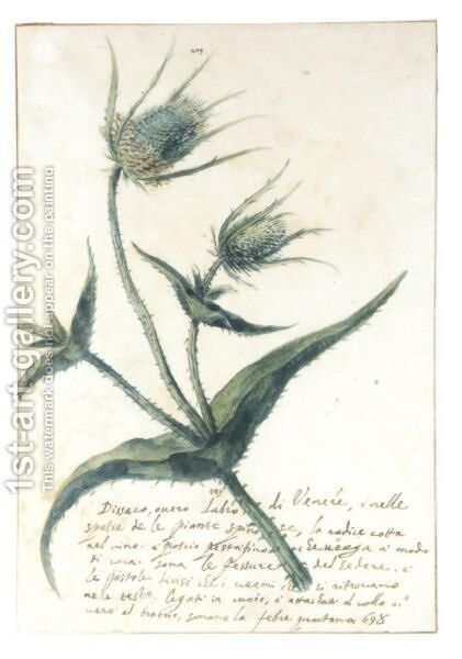Study Of A Teasel (Dipsacus Fullonum L.) by Italian School - Reproduction Oil Painting