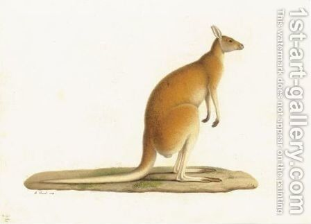 A Kangaroo (Macropus Rufus) by A. Prevost - Reproduction Oil Painting