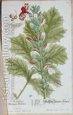 Acanthus Branca Ursina by Elizabeth Blackwell - Reproduction Oil Painting