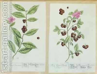 Tea and China Tea, plate from 'Herbarium Blackwellianum' by Elizabeth Blackwell - Reproduction Oil Painting