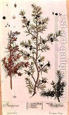 Juniper (Juniperus) plate from the German edition of 'A Curious Herbal' by Elizabeth Blackwell - Reproduction Oil Painting