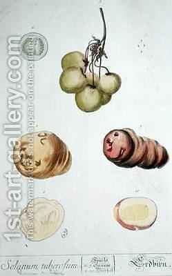 Potato Tubers, plate from 'Herbarium Blackwellianum' by Elizabeth Blackwell - Reproduction Oil Painting