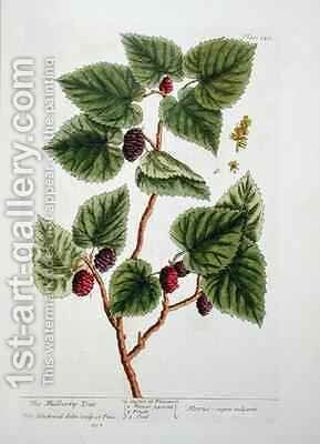 The Mulberry Tree, plate 126 from 'A Curious Herbal' by Elizabeth Blackwell - Reproduction Oil Painting