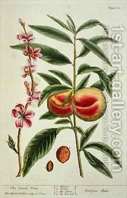 The Peach Tree, plate 101 from 'A Curious Herbal' by Elizabeth Blackwell - Reproduction Oil Painting