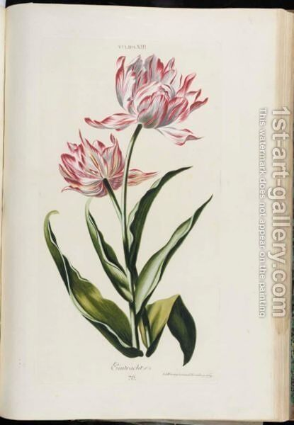 Tulip by Christoph Jakob Trew - Reproduction Oil Painting