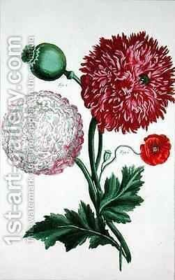 Papaver somniferum and Papaver rheas by (after) Besler, Basilius - Reproduction Oil Painting