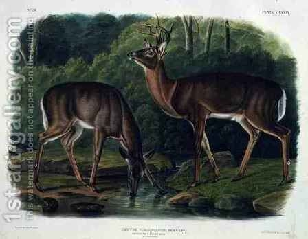 Cervus Virginianus (Common or Virginian Deer) by (after) Audubon, John Woodhouse - Reproduction Oil Painting