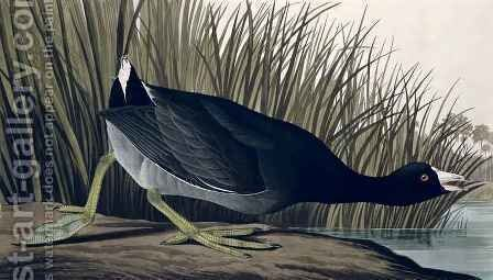 American Coot, from 'Birds of America' by (after) Audubon, John James - Reproduction Oil Painting