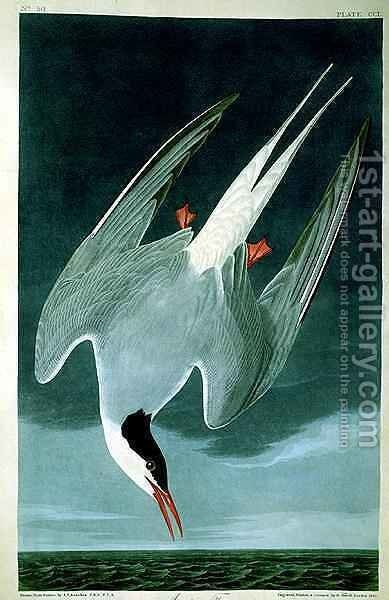 Arctic Tern, from 'Birds of America' by (after) Audubon, John James - Reproduction Oil Painting