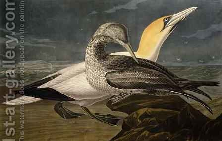 Gannets, from 'Birds of America' by (after) Audubon, John James - Reproduction Oil Painting