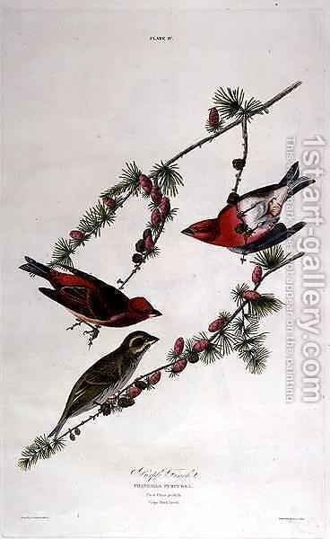 Purple Finch, from 'Birds of America' by (after) Audubon, John James - Reproduction Oil Painting