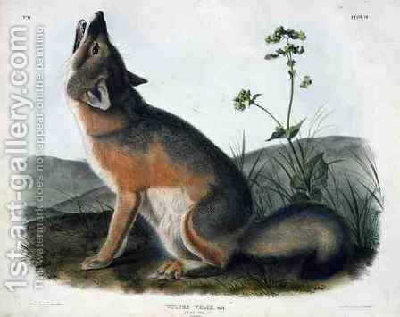 Vulpes Velox (Swift Fox), plate 52 from 'Quadrupeds of North America' by (after) Audubon, John James - Reproduction Oil Painting