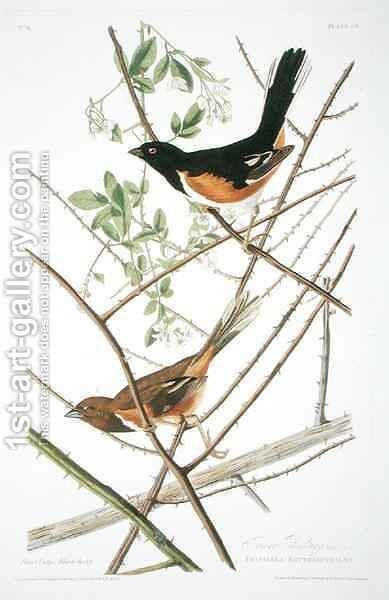 The Towhe Bunting, from 'Birds of America' by (after) Audubon, John James - Reproduction Oil Painting