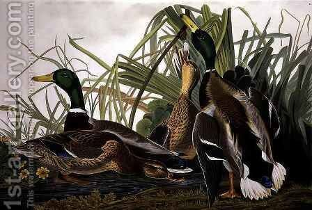 Mallard Duck, from 'Birds of America' by (after) Audubon, John James - Reproduction Oil Painting