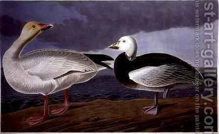 Snow Goose, from 'Birds of America' by (after) Audubon, John James - Reproduction Oil Painting