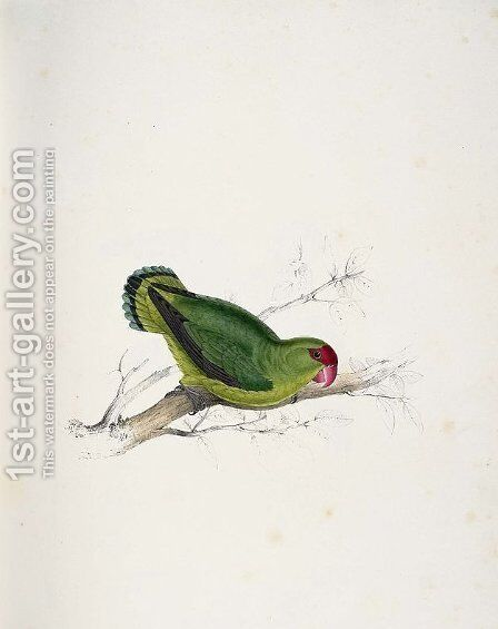 Psittacula taranta. Abyssinian parrakeet (Abyssinian Lovebird) by Edward Lear - Reproduction Oil Painting