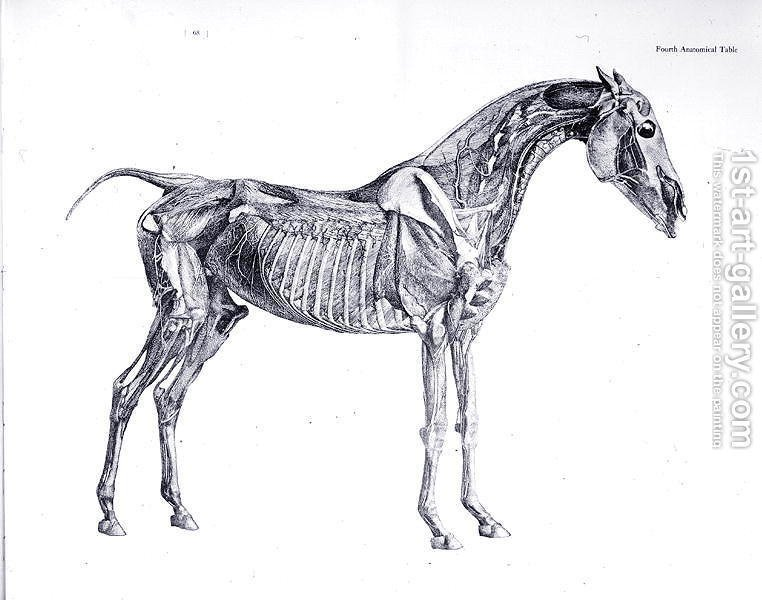 Fourth Anatomical Table From The Anatomy Of The Horse 2 George