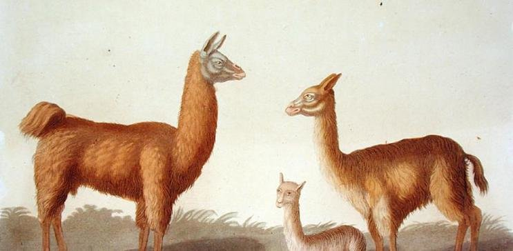 Llamas oil painting reproductions by 1st-Art-Gallery.com